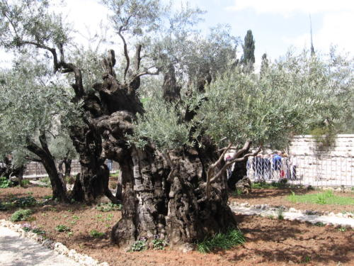IERUSALIM-Gradina Ghetimani (12)