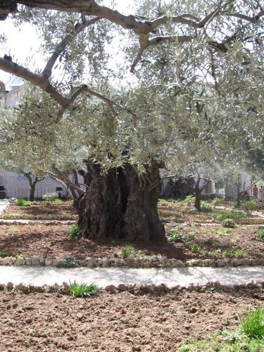 IERUSALIM-Gradina Ghetimani (13)